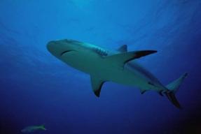 Рифовая акула, Фото фотография.